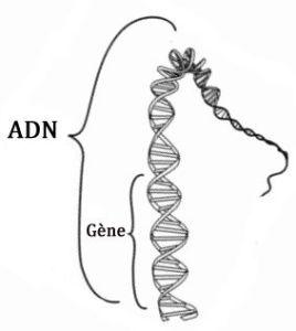 adn_gene2